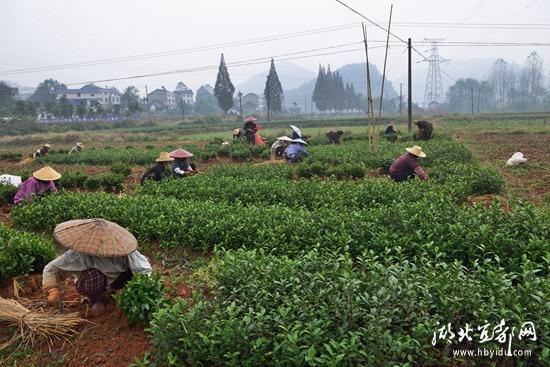 回龙垱村种茶叶调结构